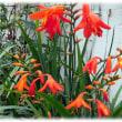 梅雨の蒸し暑い頃に咲く花(^^♪鮮やかなオレンジの小さな花をたくさんつけている「ヒメヒオギズイセン(姫檜扇水仙)」