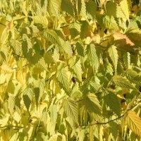 山吹 黄葉