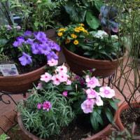 コモンテラス  新しい花たち