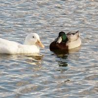 この池に住みついた白鳥です!・・・奈良水上池