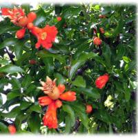 梅雨時に映える花(^^♪万緑叢中紅一点「紅一点」の「紅」とは、この花「ザクロ(柘榴)の花」