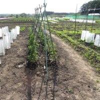 貸し農園 オーナーが、苗を植えています