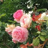 バラの季節~♪