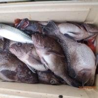 5月7日小名浜沖真ゾイ調査、良い方中心2~8匹、他マダラ、沖メバル、大ドンコ、大サバ、クウラーにぎやか13日、14日予約受付中。
