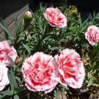 今撮ってきた庭の花たち
