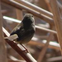 手賀沼  春鶯(しゅんのう・しゅんおう) ~ウグイス(鶯・春告鳥)~