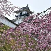 枝垂れ桜と掛川城。。。4/5