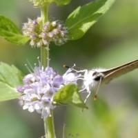 庭にきた蝶(5) ウラナミシジミ