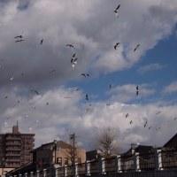群舞。浅野川大橋。青空は昨日でお終いです。