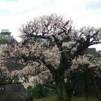 大阪城の梅林 (金海)