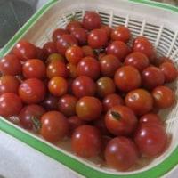 夏野菜の収穫も終わりに