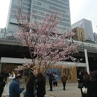ブログ170313 新宿駅 東南口に桜と観光案内所