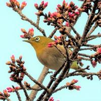 おとめ桜とメジロ