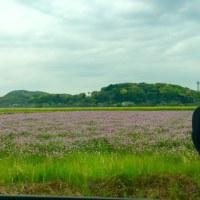 遠賀町 上別府のレンゲ畑