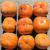 柿採りにくい上の方を収穫