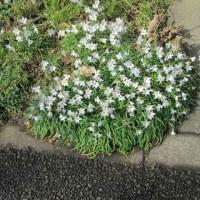 道路沿い 花の先駆け  花ニラは