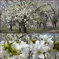 **白い桜**