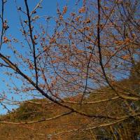 船橋・長津川親水公園のソメイヨシノ開花直前 (3/22)