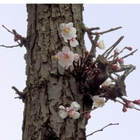 梅の木の生命力に称賛
