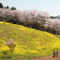 亀岡八幡宮の桜