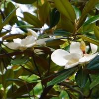 「タイサンボク」「クマノミズキ」の花や「ウバユリ」の蕾(金沢城公園)