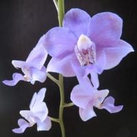 Dtps.Fire Cracker'Spring Violet',Habenaria myriotricha