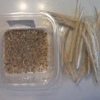 ライ麦の物差し脱穀