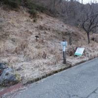 白崩平(オコバ谷)のフクジュソウ(熊本県)