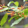 「ハメリア・パテンス」熱帯アメリカの赤くても目立たない花!花の種類!