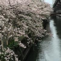 まだまだ、桜、、