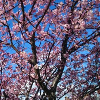 三崎の河津桜