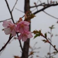 河津桜で予行演習