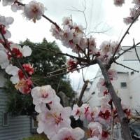 春一番、今日の梅…♪