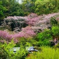 『花散歩』 八重桜