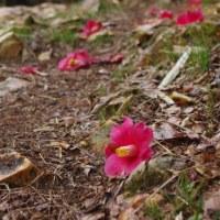 桜開花♪雨の信夫山(2017.4.9)その2 羽黒山・熊野山