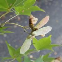オオモミジの葉と翼果
