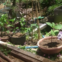 家庭菜園 復活!