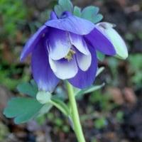 「西洋オダマキ」咲いています。