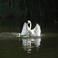 白鳥 Family