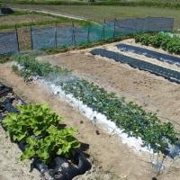 収穫中のイチゴの畝に防鳥ネット。