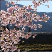 酒谷の小室桜