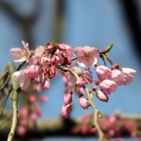 六義園枝垂れ桜 咲き始め
