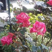 近くの薔薇祭り