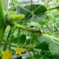胡瓜畑で雨蛙