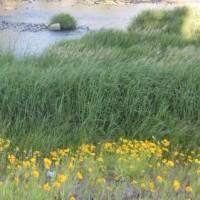土曜日にお仕事、御池通に紫陽花の花が咲きだしました