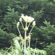 今日の野草