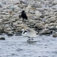 一期一会・・・撮り鳥の記  166 多摩川探鳥