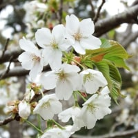 早咲大島桜ほぼ満開