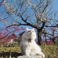 菊間 かわら館の梅の花