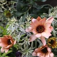 春の寄せ植えとクレマチス『ペトリエイ』